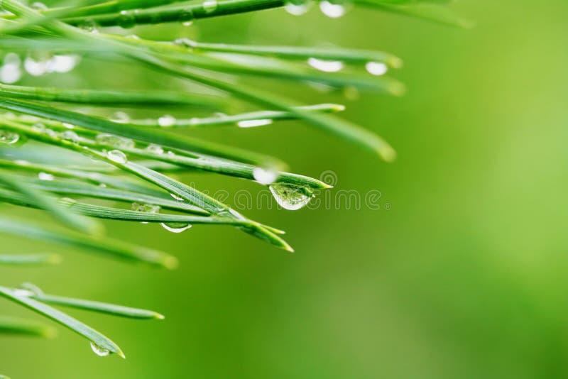 Gocce di rugiada sugli aghi del pino immagini stock