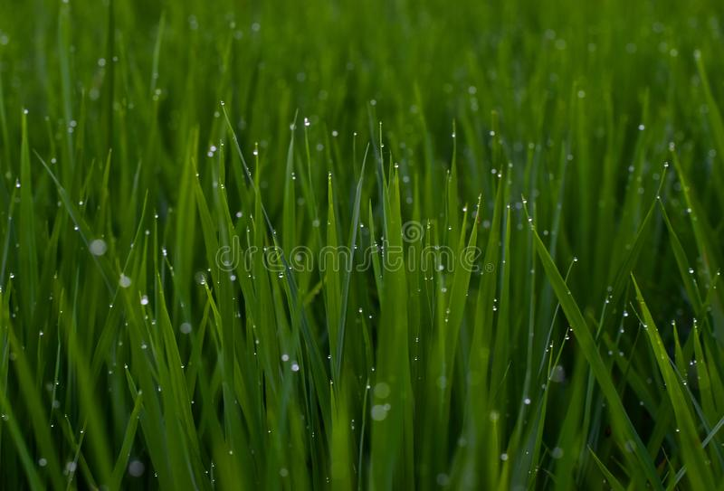 Gocce di rugiada sulla fotografia di Paddy Field Green Natural Background fotografia stock