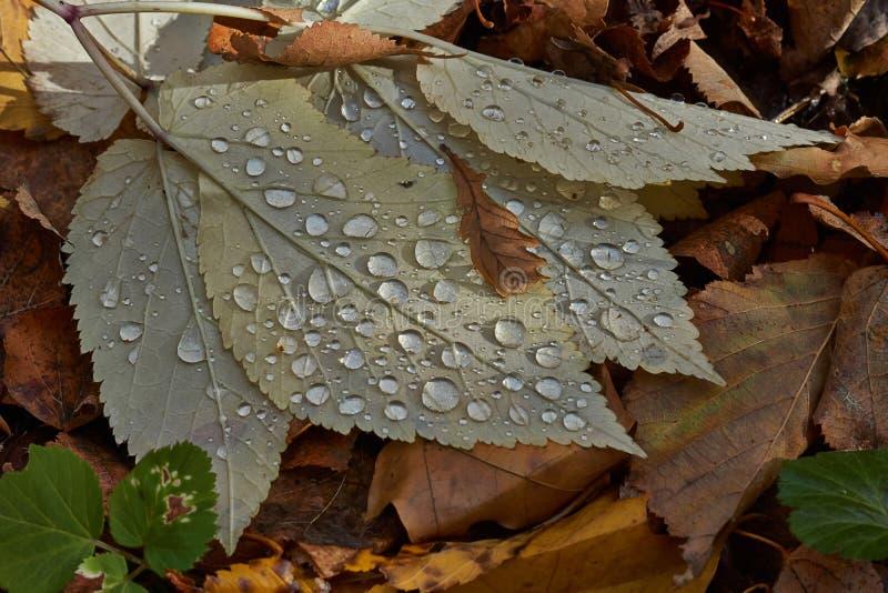 Gocce di rugiada sulle foglie cadute fotografie stock libere da diritti