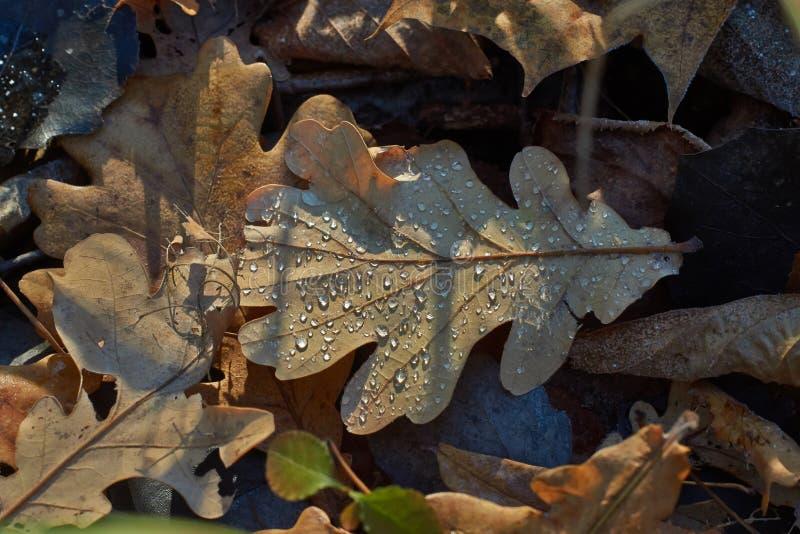 Gocce di rugiada sulle foglie cadute nell'autunno fotografia stock