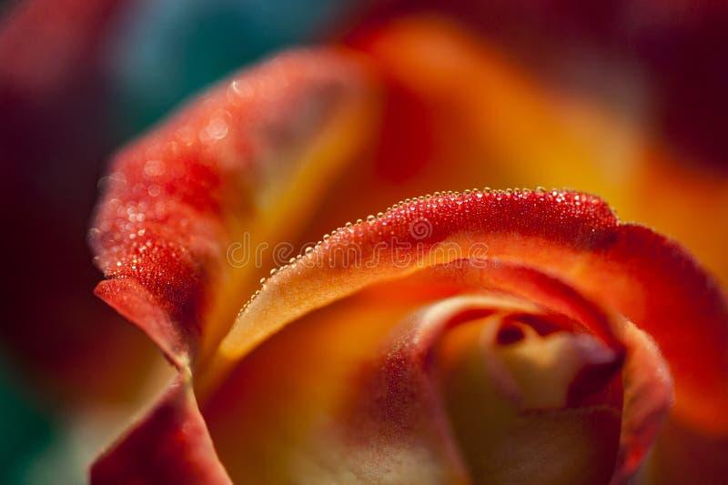 Gocce di rugiada sulle rose rosse fotografia stock libera da diritti