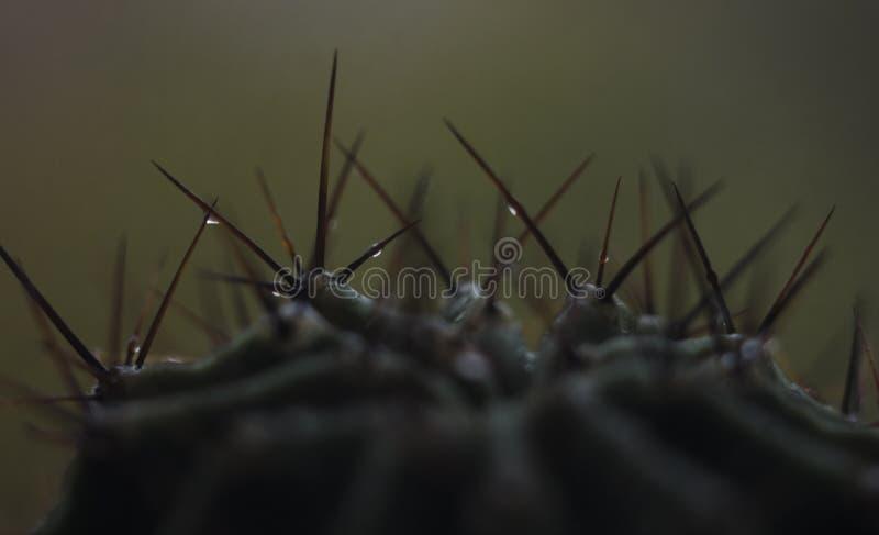 Gocce fresche sul cactus, foto della natura fotografia stock