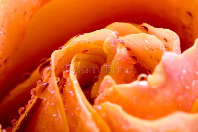 Gocce gialle della Rosa immagini stock