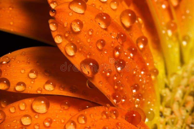 Gocce a macroistruzione dell'acqua del fiore arancione immagine stock