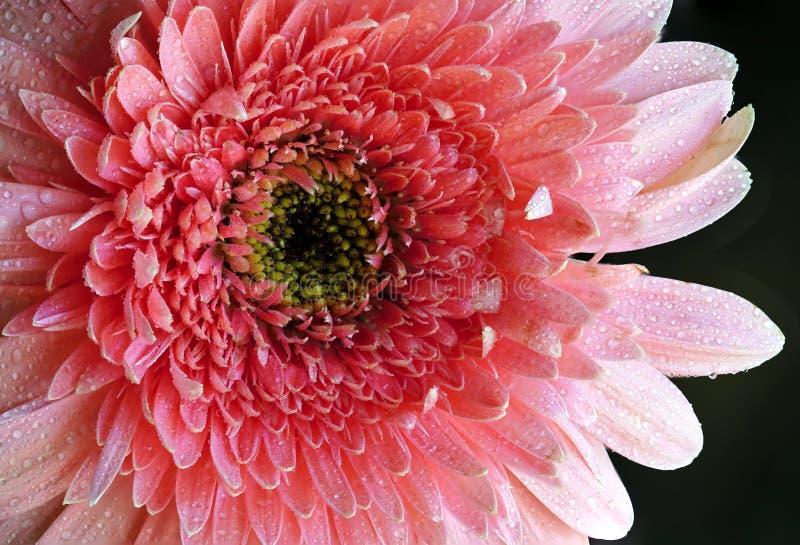 Gocce rosa di Rose Gerbera Detail With Water fotografia stock
