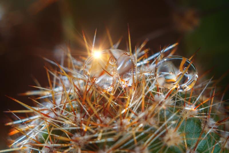 Gocce sul cactus fotografia stock libera da diritti