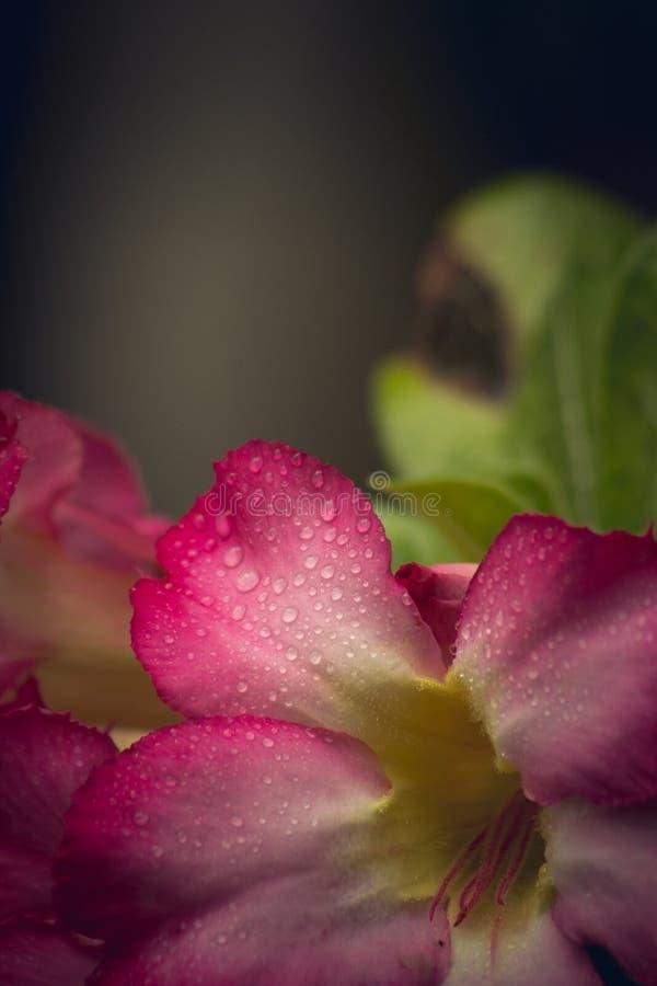 Goccia dell'acqua sui petali dentellare immagini stock