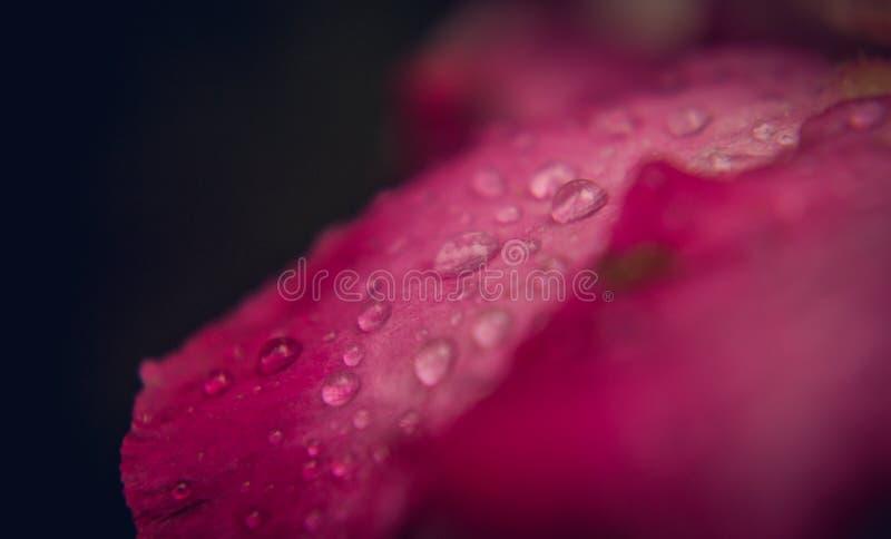 Goccia dell'acqua sui petali dentellare fotografia stock