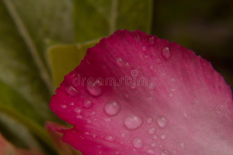 Goccia dell'acqua sui petali dentellare fotografia stock libera da diritti