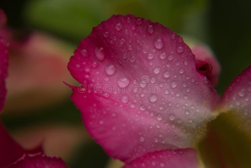 Goccia dell'acqua sui petali dentellare immagini stock libere da diritti
