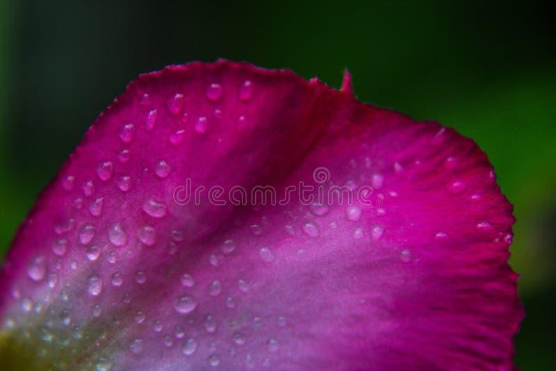 Goccia dell'acqua sui petali dentellare immagine stock libera da diritti