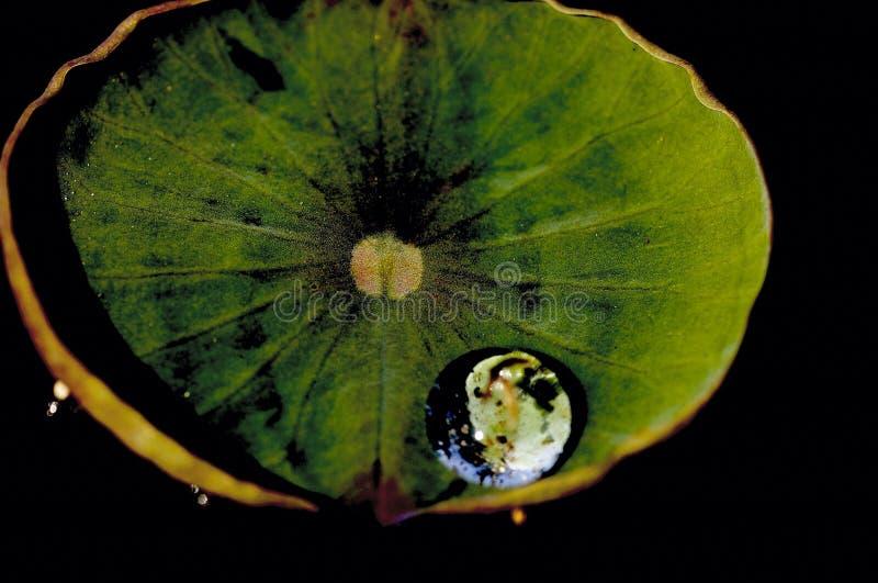 Goccia dell'acqua sul foglio del loto. fotografie stock libere da diritti