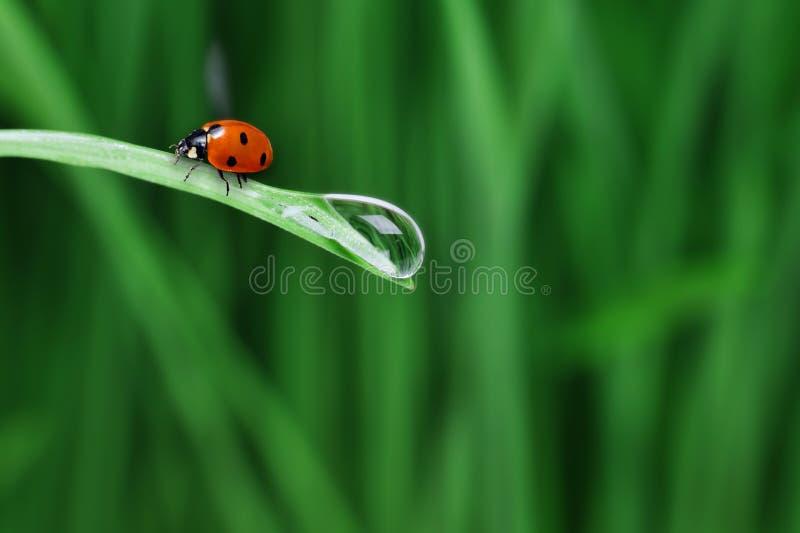 Goccia dell'acqua sull'erba immagine stock