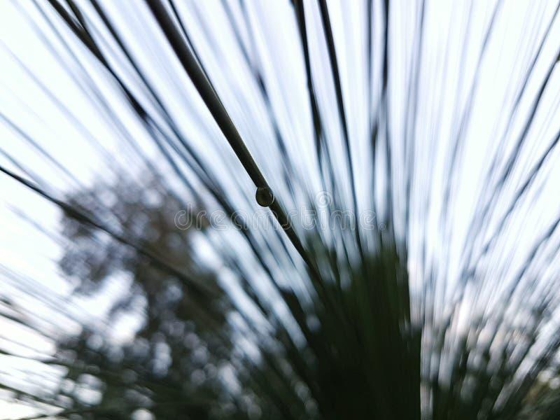 Goccia di acqua circa da cadere dall'albero fotografia stock