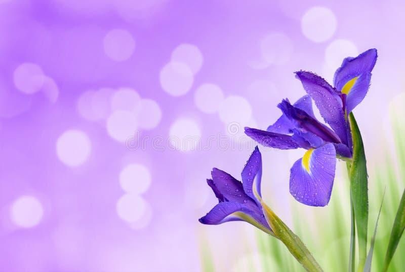 Goccia di acqua sui fiori dell'iride della molla fotografia stock