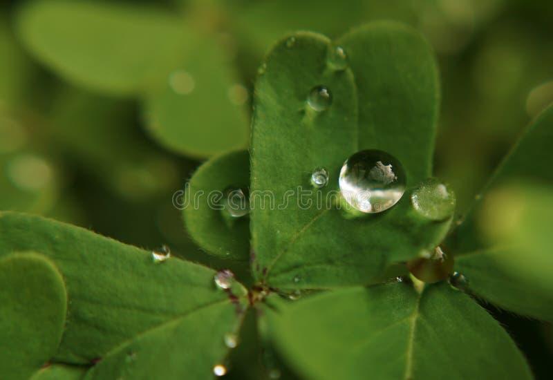 Goccia di rugiada sull'acetosella verde fotografia stock libera da diritti