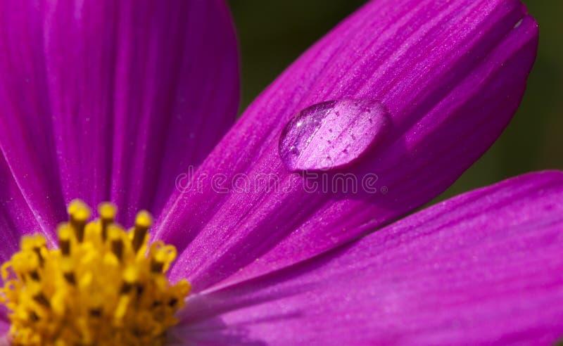 Goccia a macroistruzione dell'acqua del fiore fotografie stock libere da diritti