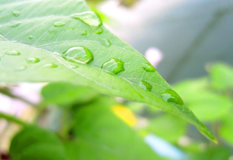 Goccia sulle foglie fotografia stock libera da diritti