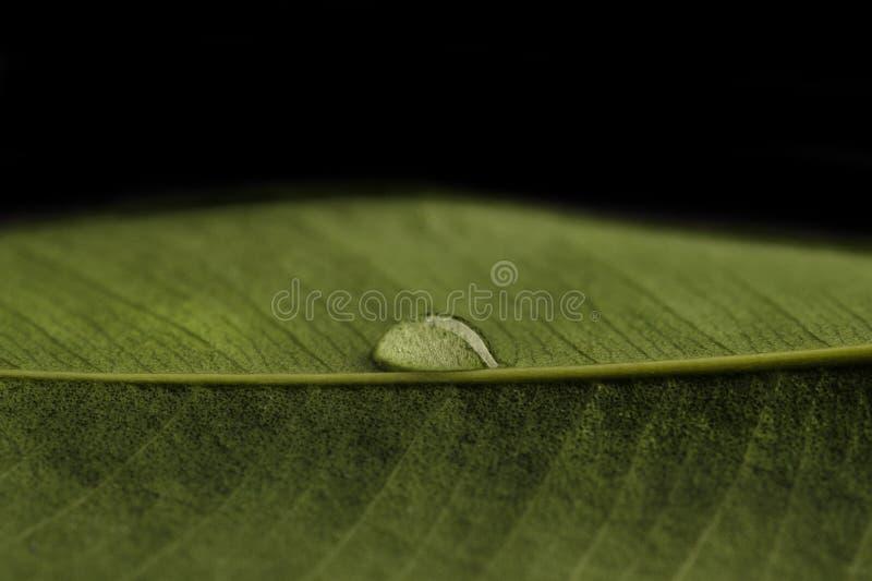 Goccia trasparente di acqua su una foglia verde La goccia è foto tagliente e macro del primo piano immagini stock libere da diritti