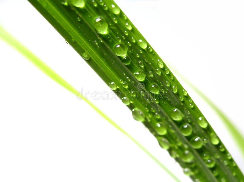 Gocciolamento dell'acqua su foglia di palma fotografia stock libera da diritti