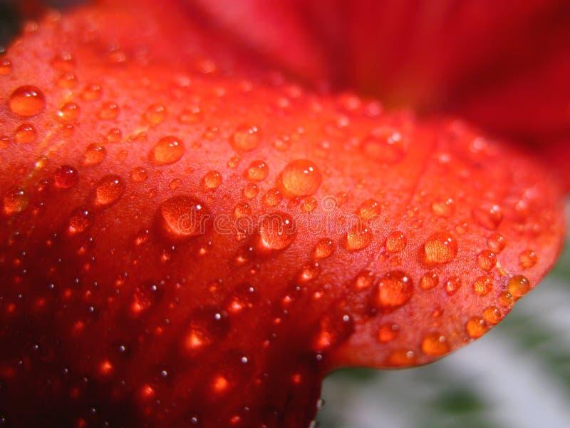 Gocciolamento dell'acqua sul giglio rosso fotografia stock libera da diritti