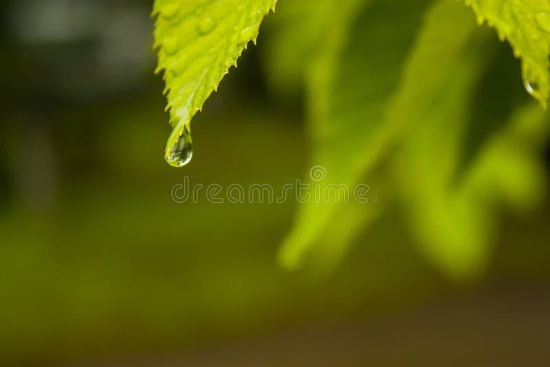 gocciolamento sulla foglia verde fotografia stock libera da diritti