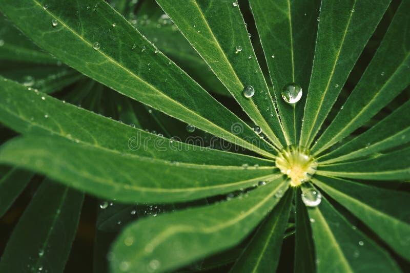 Gocciolina di acqua piacevole sulle foglie verde scuro, macro foto immagine stock