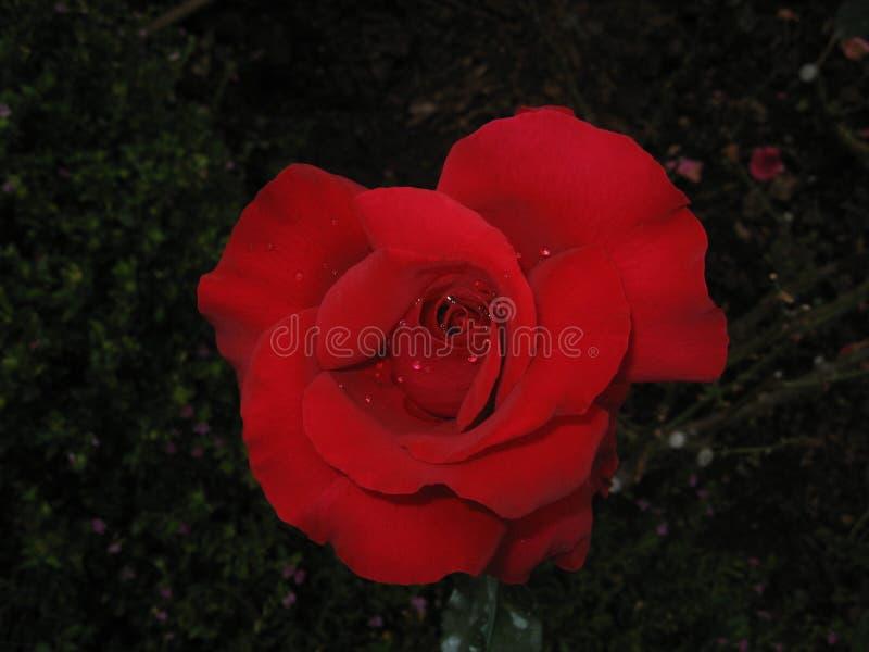 Gocciolina di acqua sulla rosa rossa immagine stock