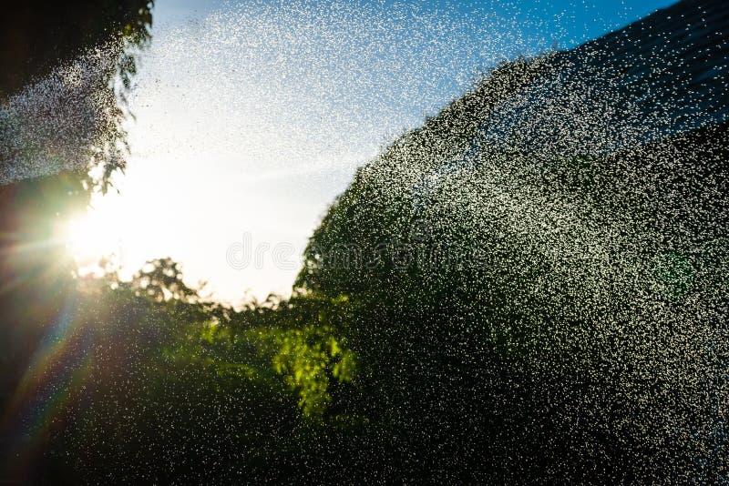Goccioline di acqua spruzzate dal tubo flessibile di giardino con il tramonto nei precedenti Foschia tagliente della gocciolina n immagini stock