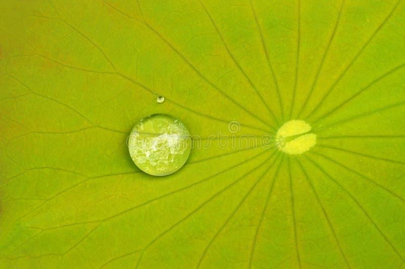 Goccioline di acqua sul foglio del loto immagine stock libera da diritti
