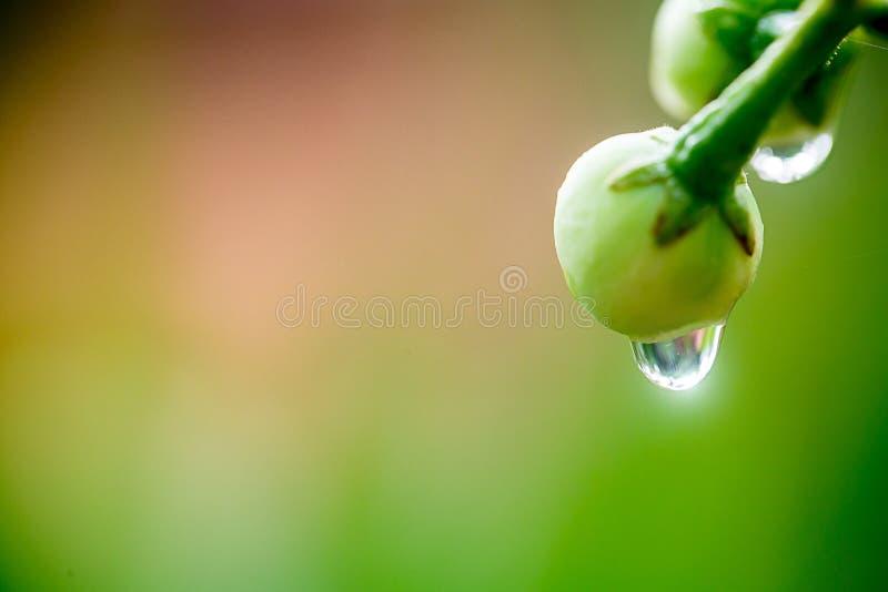 Goccioline di acqua sull'albero della frutta fresca immagine della natura per fondo, fotografia stock libera da diritti