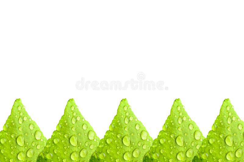 Goccioline sulla foglia verde fotografia stock libera da diritti