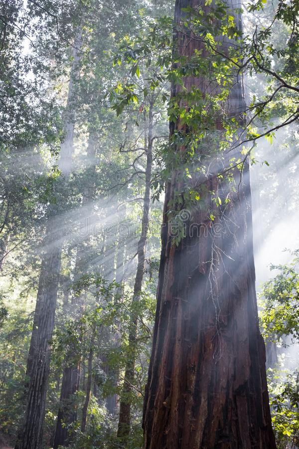 God rays in redwood trees stock photography