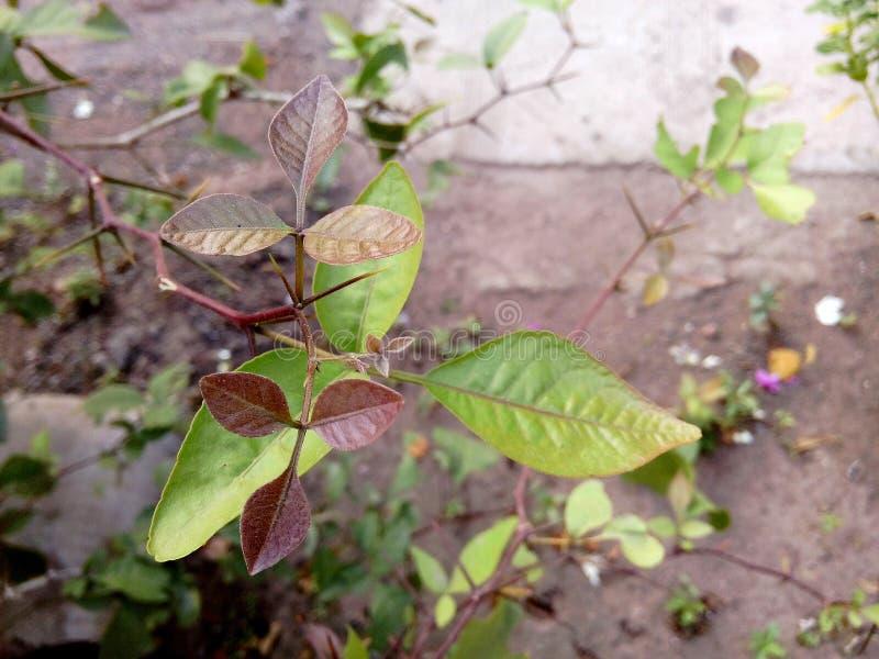God shiva leaves stock images
