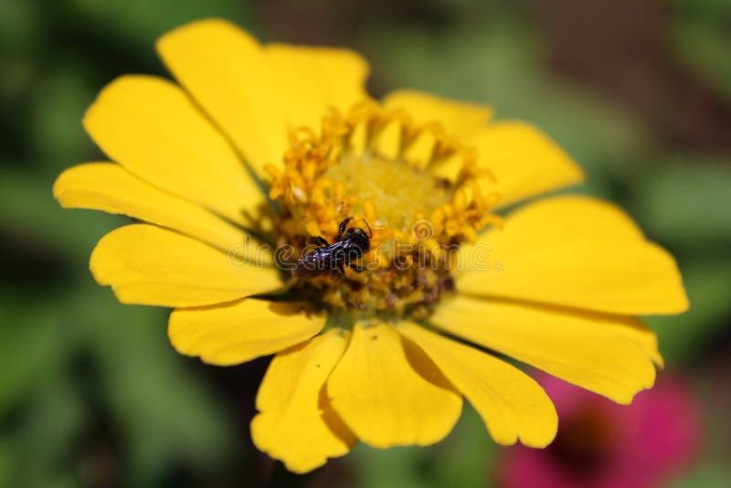 Godendo di un polline di raccolta, fotografia stock libera da diritti