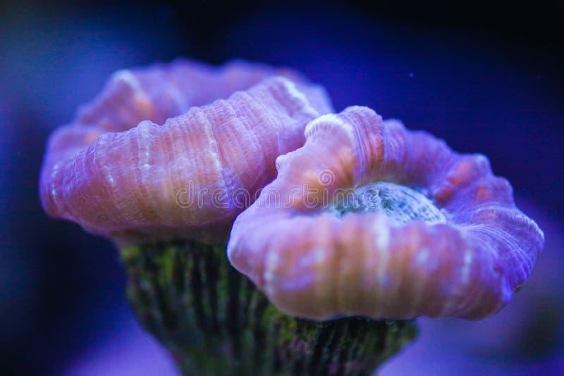 Godis Cane Trumpet Coral (den Caulastrea furcataen) royaltyfria foton