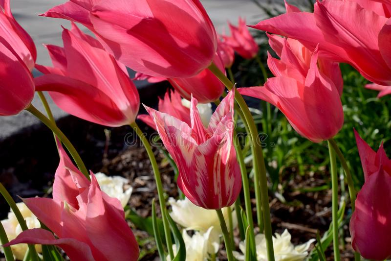 Godis Cane Tulip Flower 02 arkivfoton