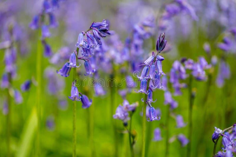 Godolphin的会开蓝色钟形花的草森林在康沃尔郡英国英国 免版税库存照片