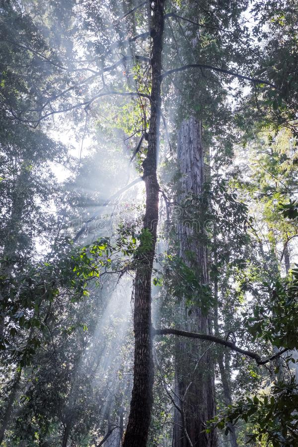 Godsstralen in Californische sequoiabomen royalty-vrije stock fotografie