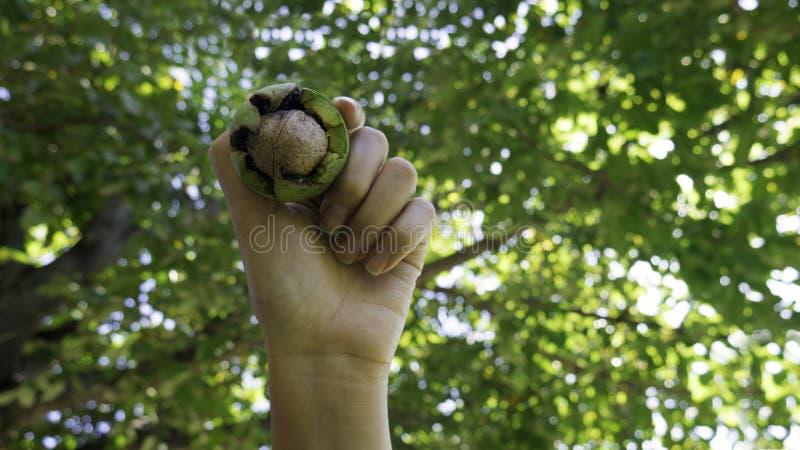 Goed jaar voor het oogsten van noten De hand houdt een notenvrucht voor een notenboom stock afbeelding