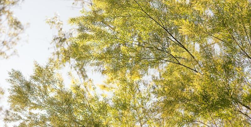 Goedemorgen in Australië met Australische acaciaachtergrond royalty-vrije stock afbeelding
