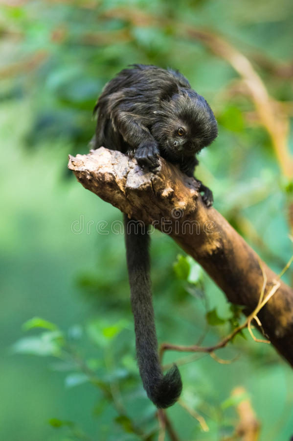 Goeldi's monkey royalty free stock image