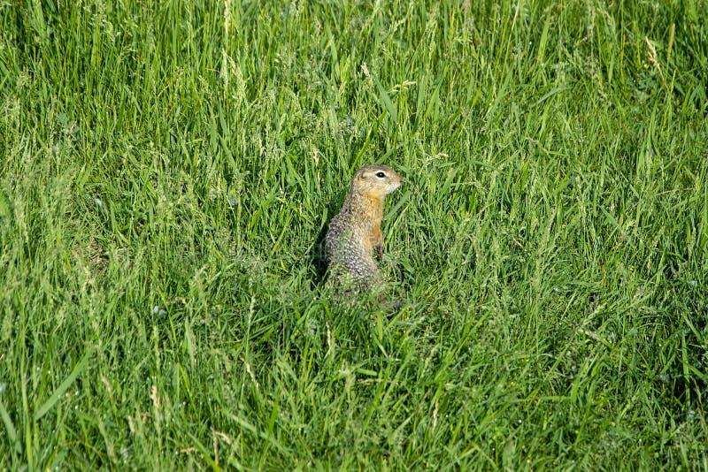 Goffer står i gräset Sommar arkivbilder