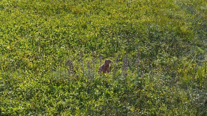 Goffer står på bakre ben i gräs arkivbilder