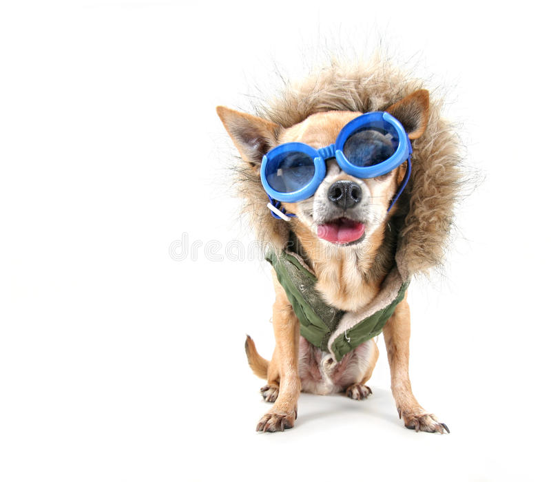 Download Goggle chihuahua stock image. Image of white, jacket - 27930949