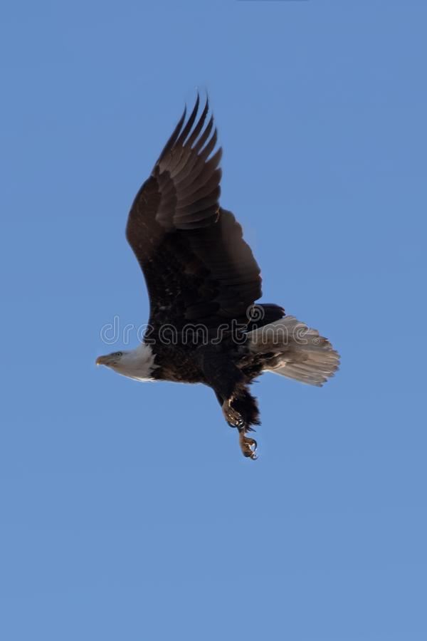 Going Forward in Clear Skies. Our nation`s symbol bravely flying out into the wild blue yonder royalty free stock photo