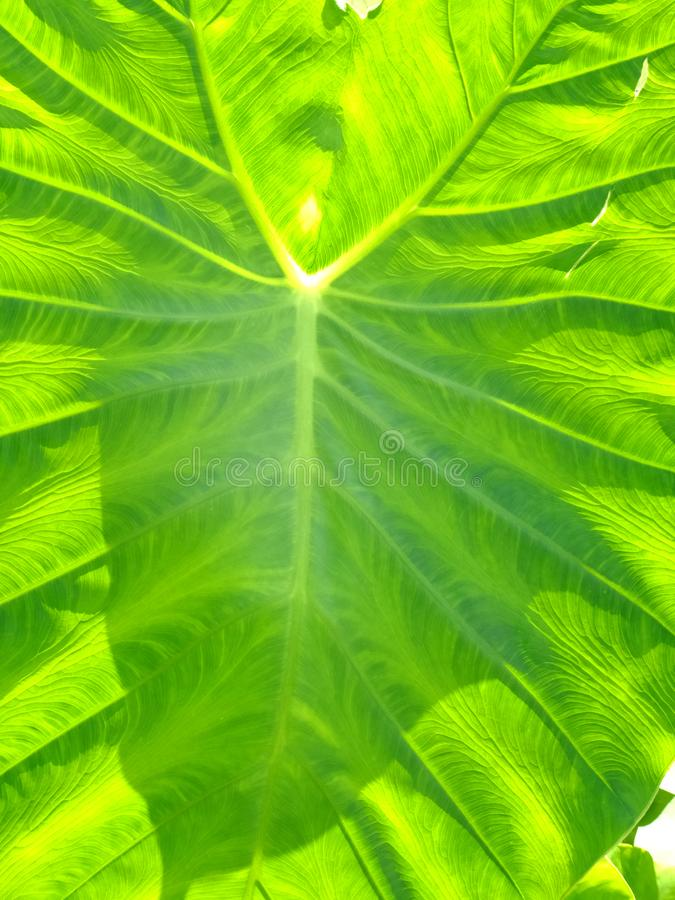 Going Green. Circulatory system branching out from main vessels and transporting nutrients to outermost capillaries in a green leaf royalty free stock images
