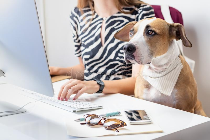 Going to work with pets concept: cute dog with female owner in f royalty free stock photography