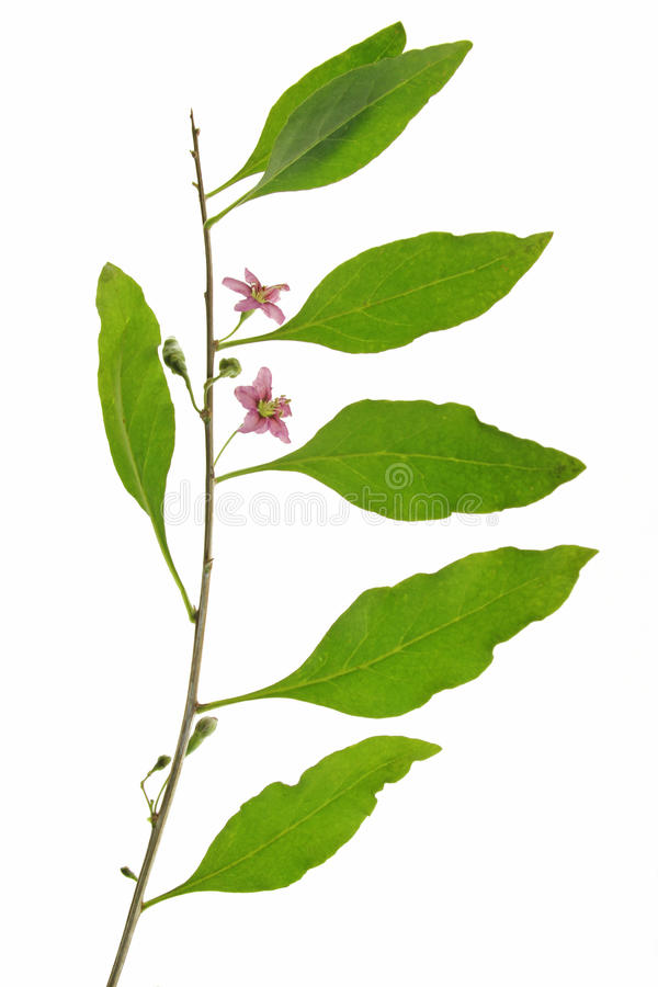 Free Goji Berry (Lycium Barbarum) Stock Image - 26065531