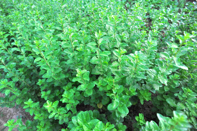 Goji Berry Plants Stock Photos